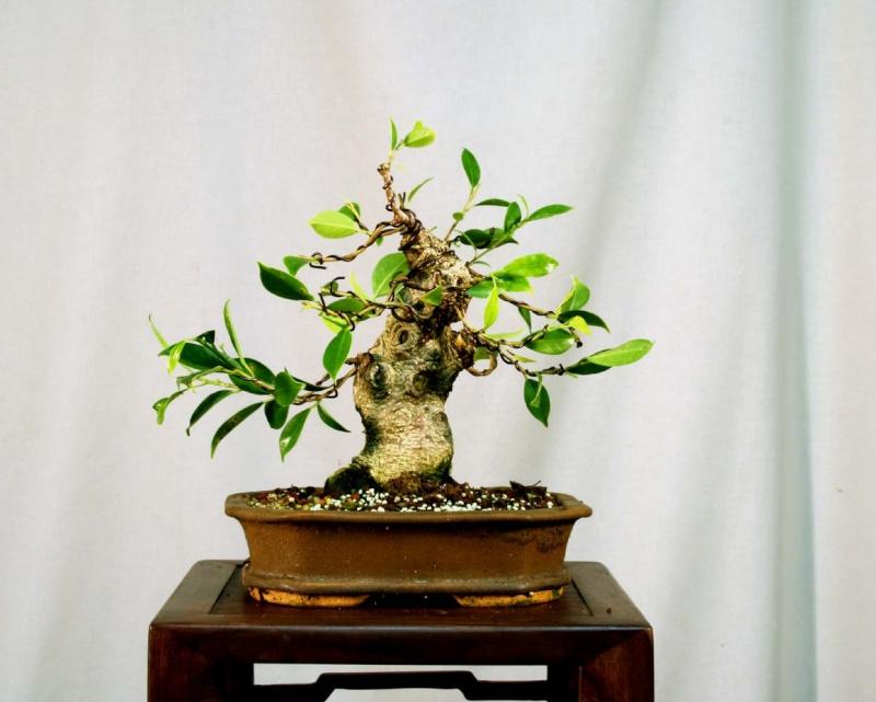 Some Indian Laurel Ficus Work 2009_015