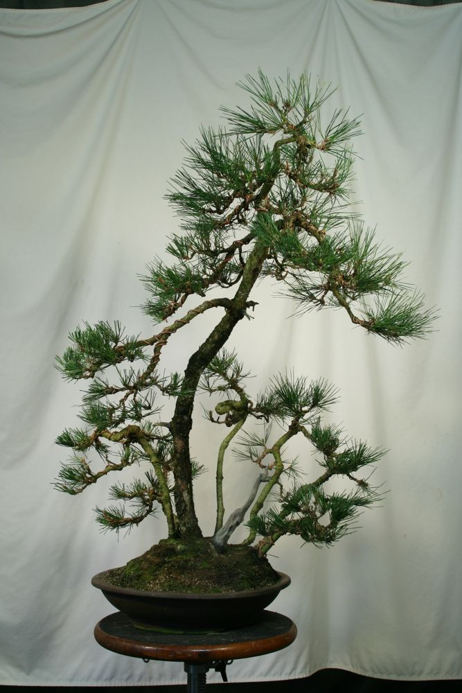 Pine on the Brain Dragon11