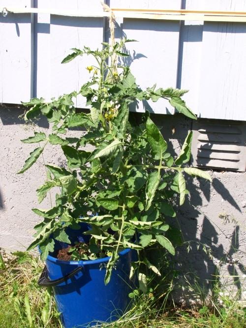 Gardening Thread - Page 2 Tomato10