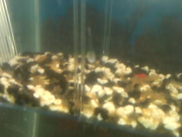 Another batch of RBP eggs:) Cid_im13