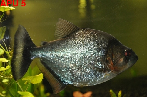 July Piranha POTM,..sudden death,..vote here,.. Piranh12