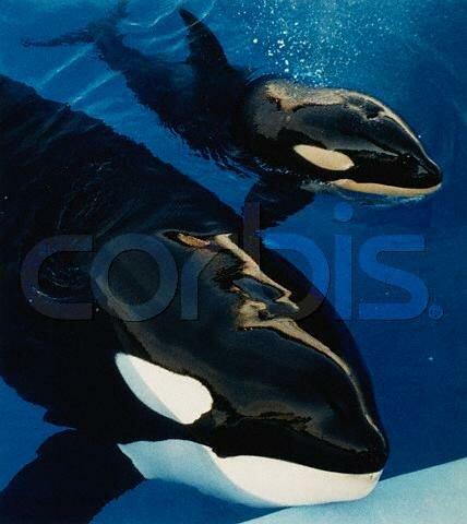 [Photos] Les orques captives quand elles étaient bébé - Page 3 Sharka11