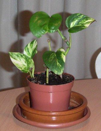 O Poto ( Scindapsus Aureus) Poto12