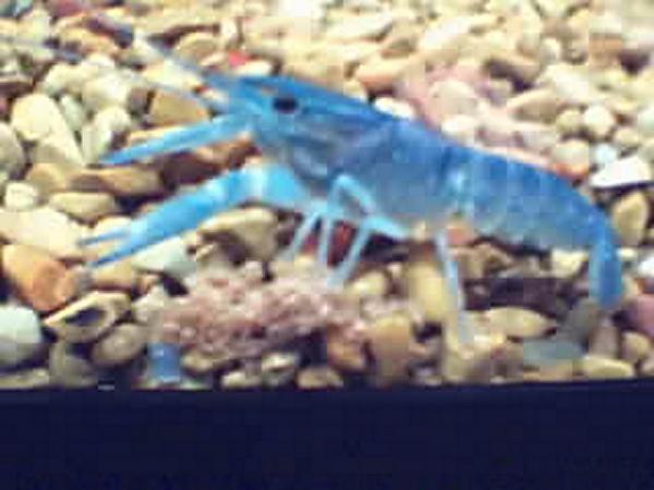 RIP BLUE GUY Crawda10