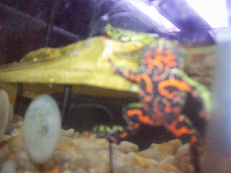 fire belly toads Gecko_28