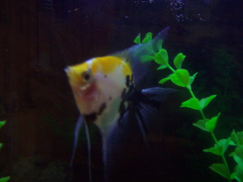 R.I.P Angelfish My_pic24