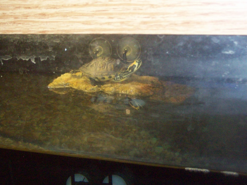 pictures of my yellow belly slider turtle Turtle11