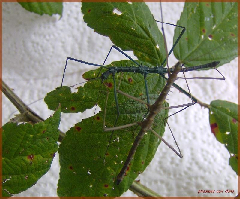 Acanthomenexenus polyacanthus (PSG n°295) Phasme69
