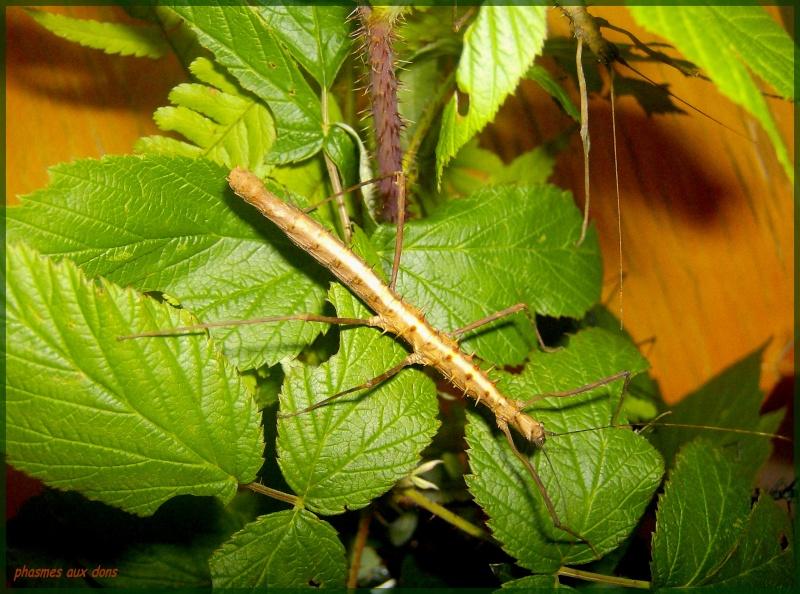 Acanthomenexenus polyacanthus (PSG n°295) Phasme80