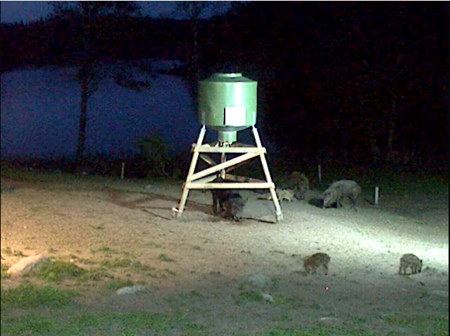 Wild Pig Camera Lovers/ ADDRESS CHANGED TO SWEDISH STREAMING CAM - Page 2 Javali10