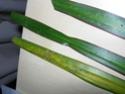 Ptit souci sur Dracaena marginata :/ Dscn2911