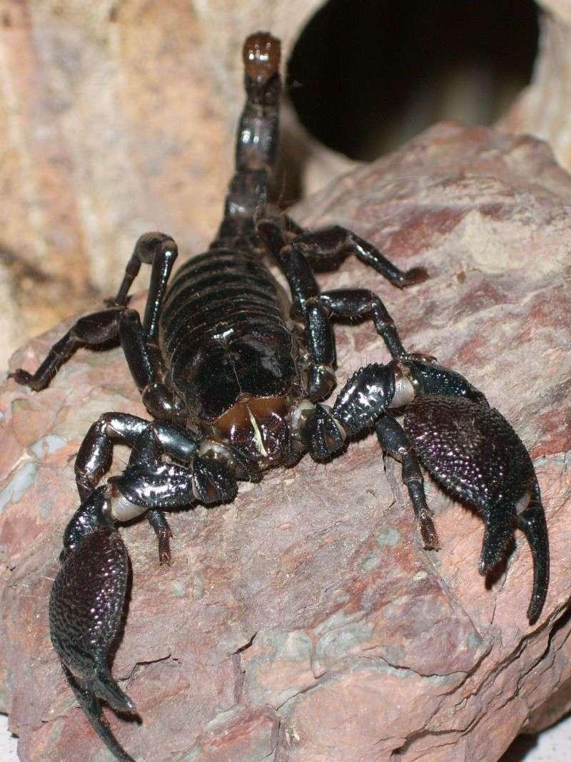 Scorpion - Pandinus imperator Arachn11