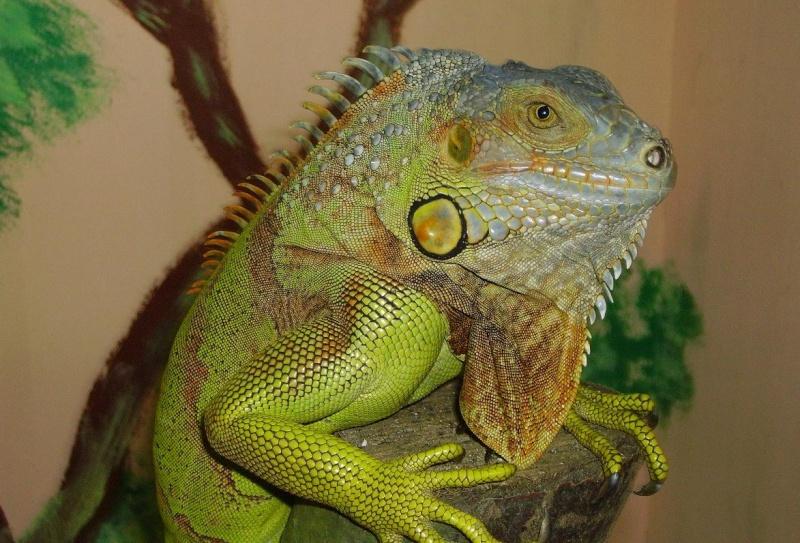 Lézard - Iguana iguana Reptil10