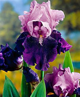Info s.v.p. Iris blue bird wine (barbu) Blue_b10