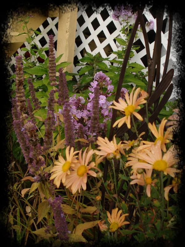 ( Dendrathema ) maintenant Chrysanthemum Mary Stoker Dsc02312