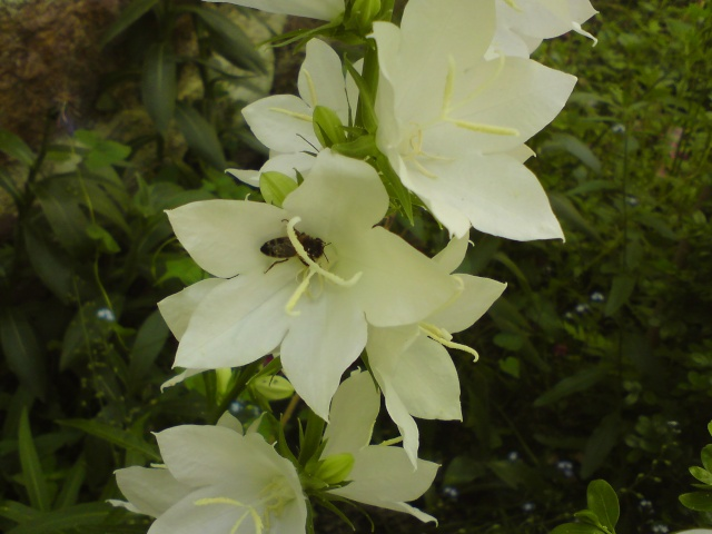 Avez vous vu des abeilles depuis le début de l'année ? Dsc03811