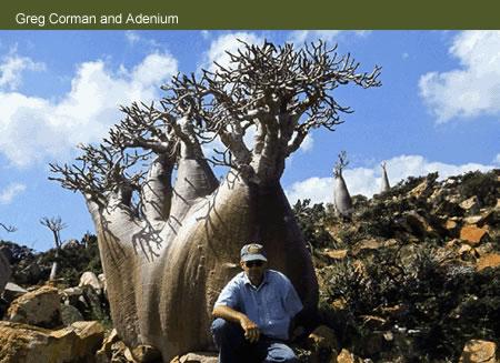 Conseils pour adenium obesum Socotr10