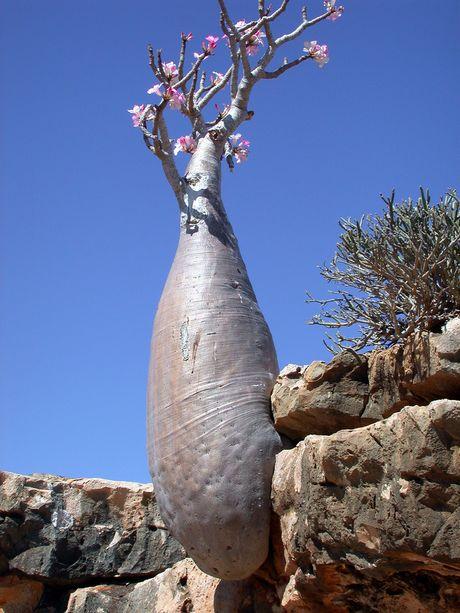 Conseils pour adenium obesum Socotr11