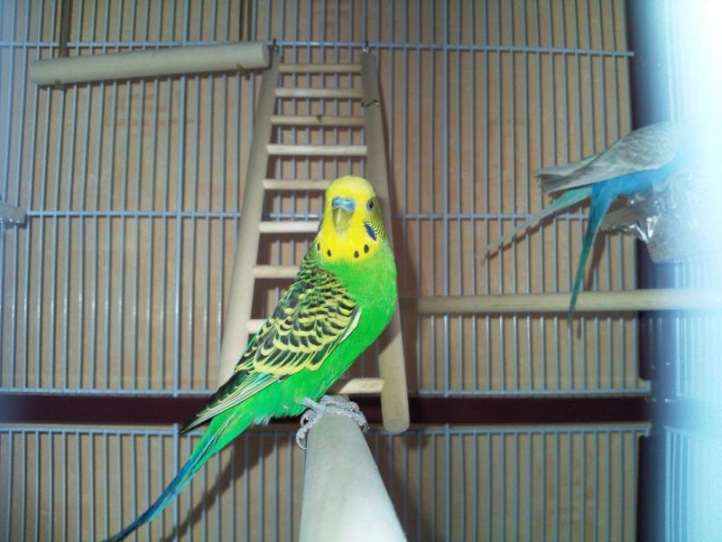 photos de mes perruches Photo012