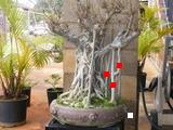 Suggestions for old, large ficus  (with pics) Goliat11