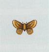 Tutti gli insetti Falena10