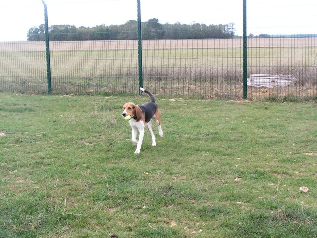 DROP, beagle mâle, 1 an (41) Pict0076