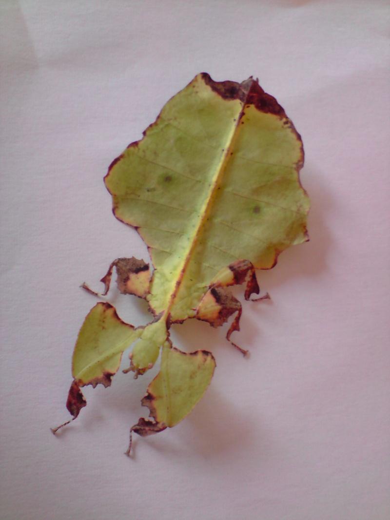 Phyllium giganteum (P.S.G n°72) P2410011