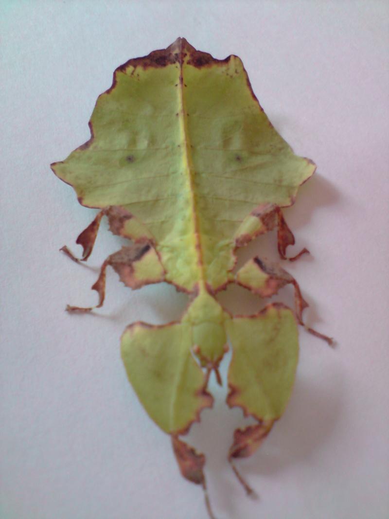 Phyllium giganteum (P.S.G n°72) P2410014