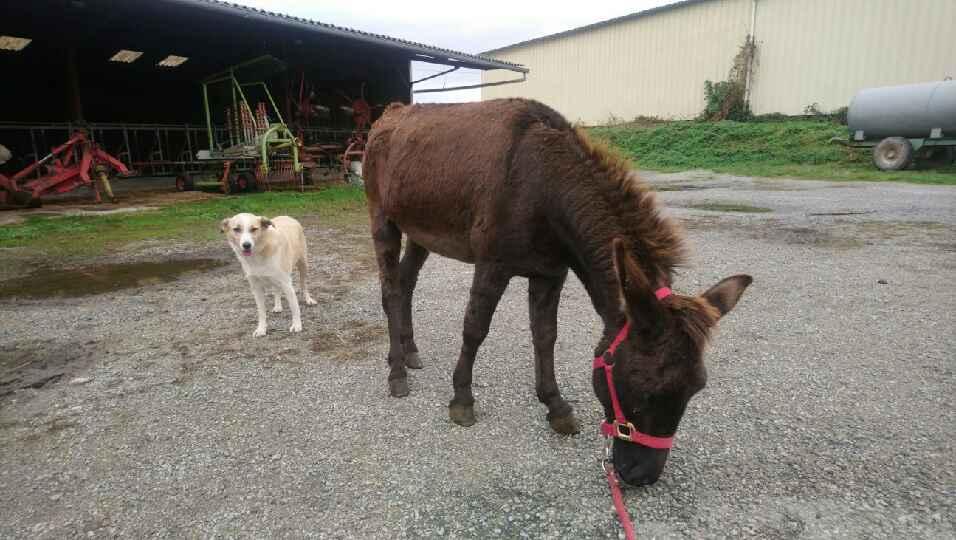 (dpt 23)PRINCUS, âne typé catalan de 5 ans, entier en FA chez Banzina Dsc_0710