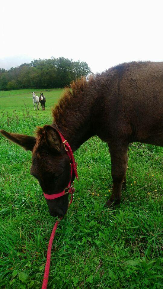 (dpt 23)PRINCUS, âne typé catalan de 5 ans, entier en FA chez Banzina Dsc_0712