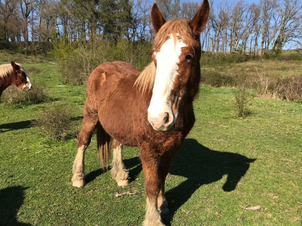 HERCULE, trait breton de 2 ans, entier, départ 33 Img_7510