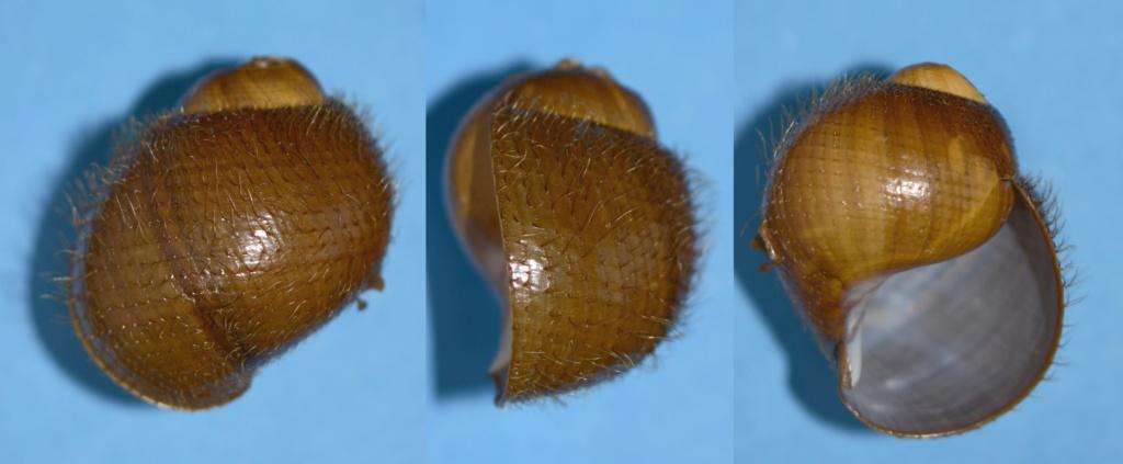 Provannidae : Alviniconcha hessleri Okutani, T.A. & S. Ohta, 1988 Alvini10
