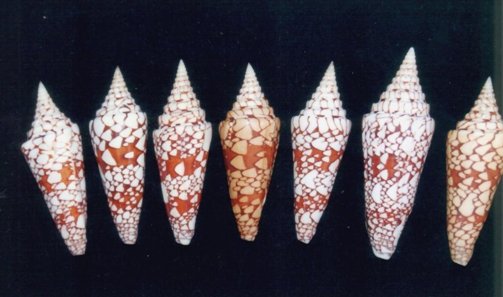 Conus (Leptoconus) milneedwardsi lemuriensis   Wils & Delsaerdt, 1989 Cone_m10