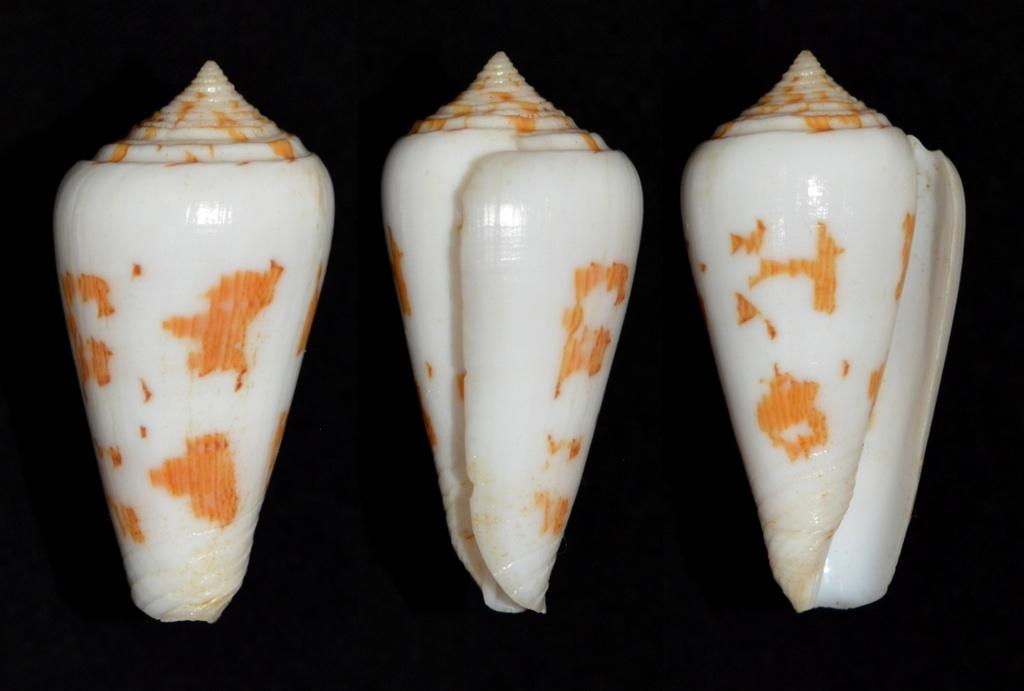 Conus (Pionoconus) gubernator veillardi   da Motta, 1990 Gubern10
