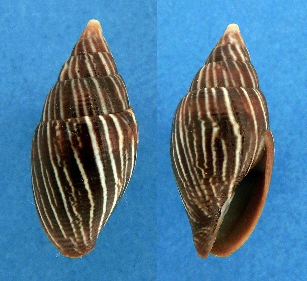 Strigatella paupercula - (Linnaeus, 1758) Mitra_11