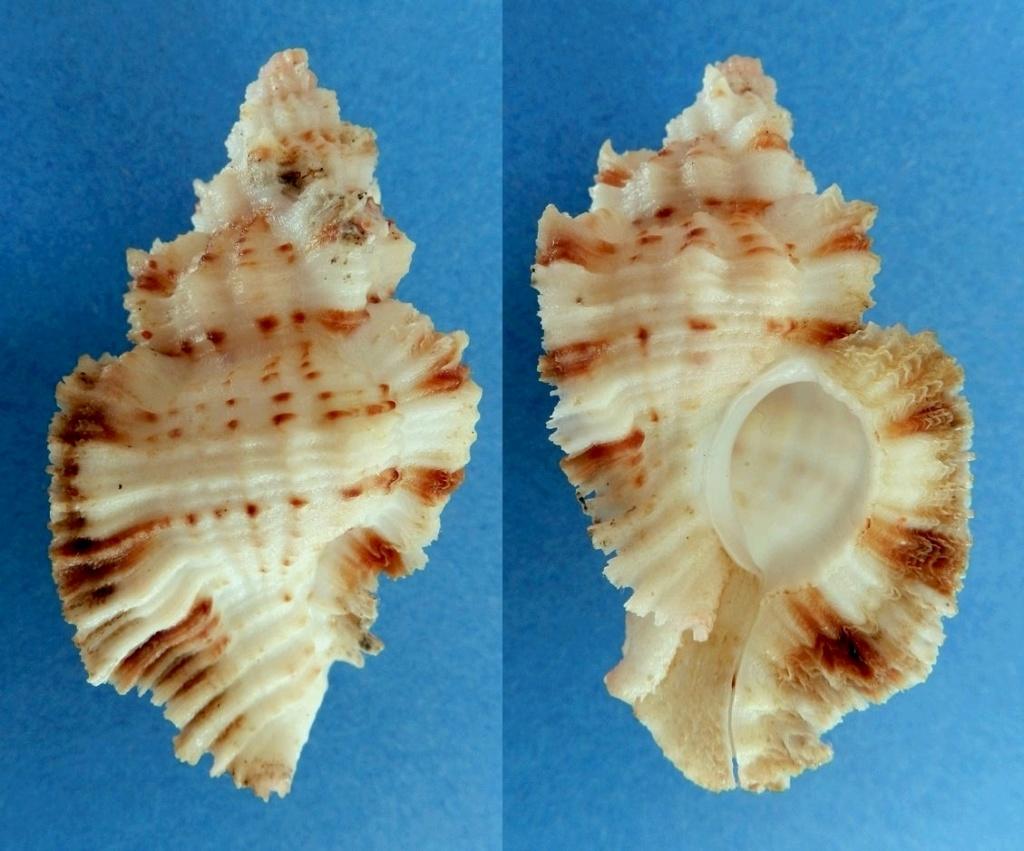 Naquetia vokesae - (Houart, 1986) Murex_13