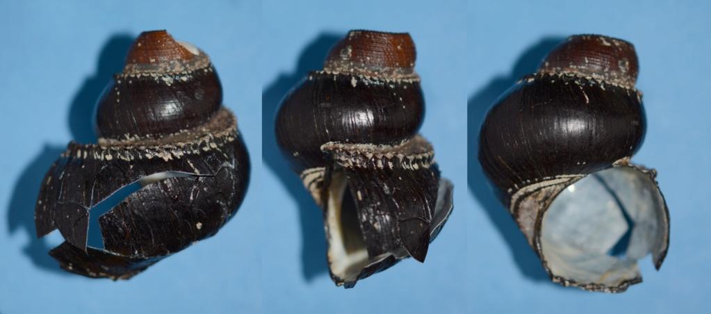 Provannidae : Ifremeria nautilei - Bouchet & Warén, 1991 Provan10