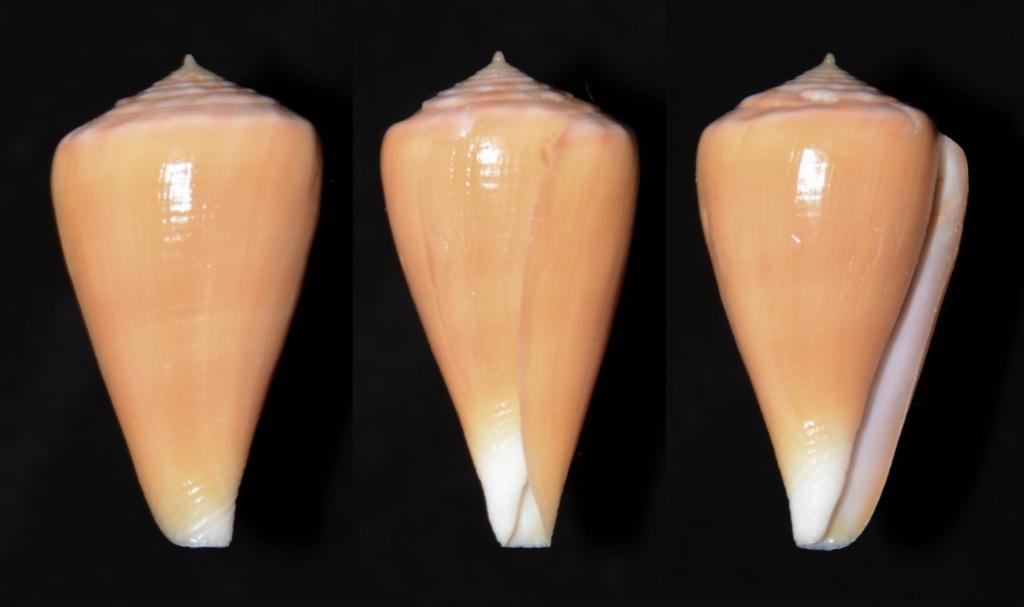 Conus (Splinoconus) sazanka Shikama, 1970 voir Conus (Splinoconus) martensi Sazank15