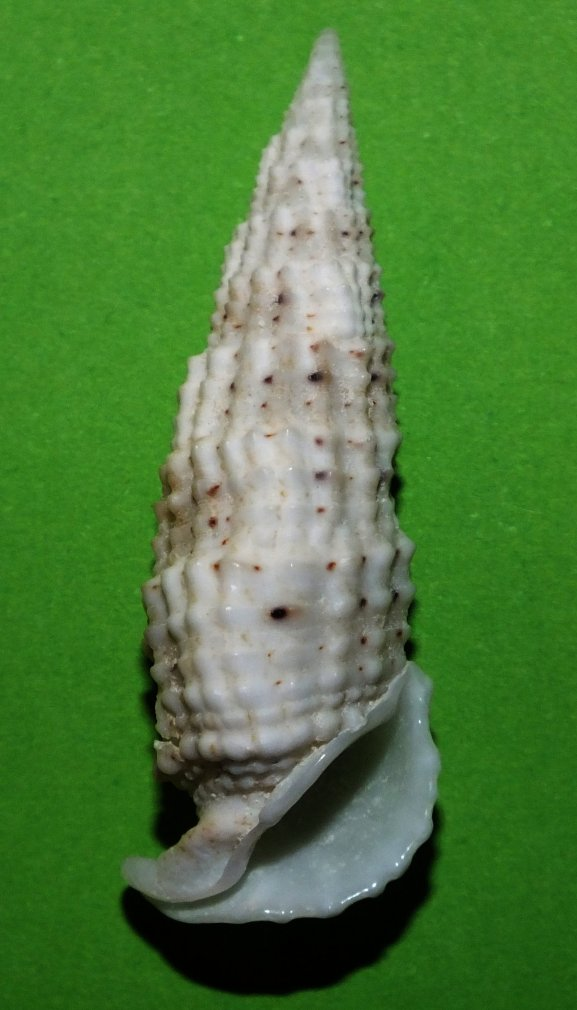 Rhinoclavis  aspera (Linnaeus, 1758)  Cerith11