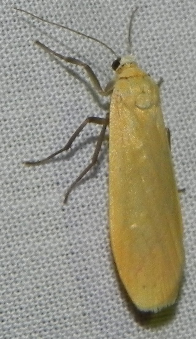 [Eilema sororcula] Manteau jaune? 212