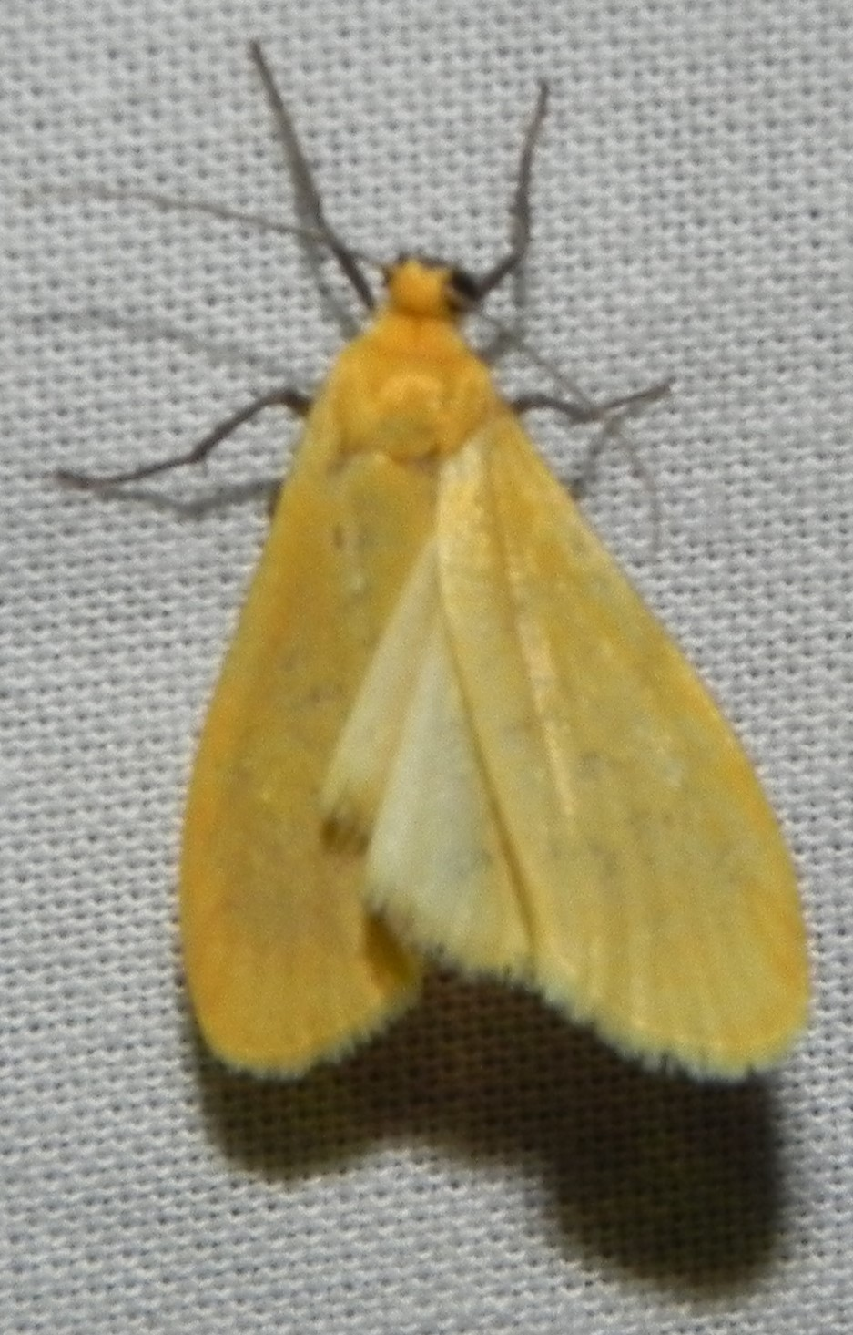 [Eilema sororcula] Manteau jaune? 311