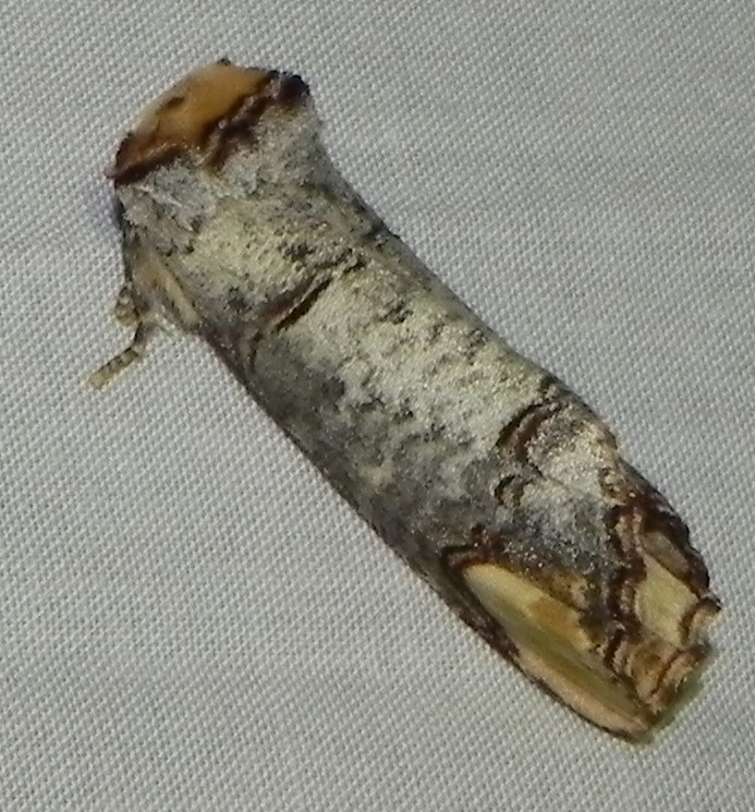 [Phalera bucephala] bucéphale Buczop10