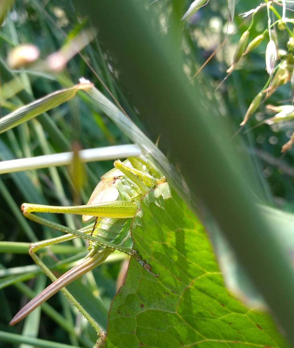 [Tettigonia viridissima] Sauterelle seine et marne Img_2029