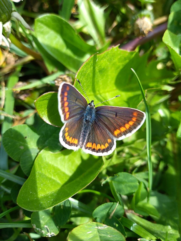 [Aricia agestis] Femelle Papillon Img_2030
