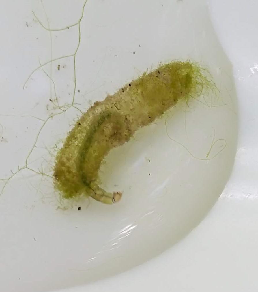 [Trichoptera] larve aquatique Img_2040