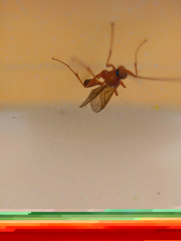 [Ichneumonidae Ophioninae] ichneumon Img_2083