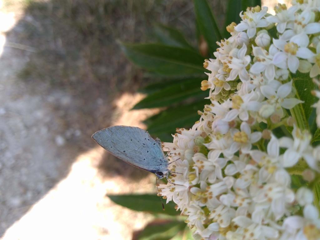 [Celastrina argiolus] azuré Img_2087