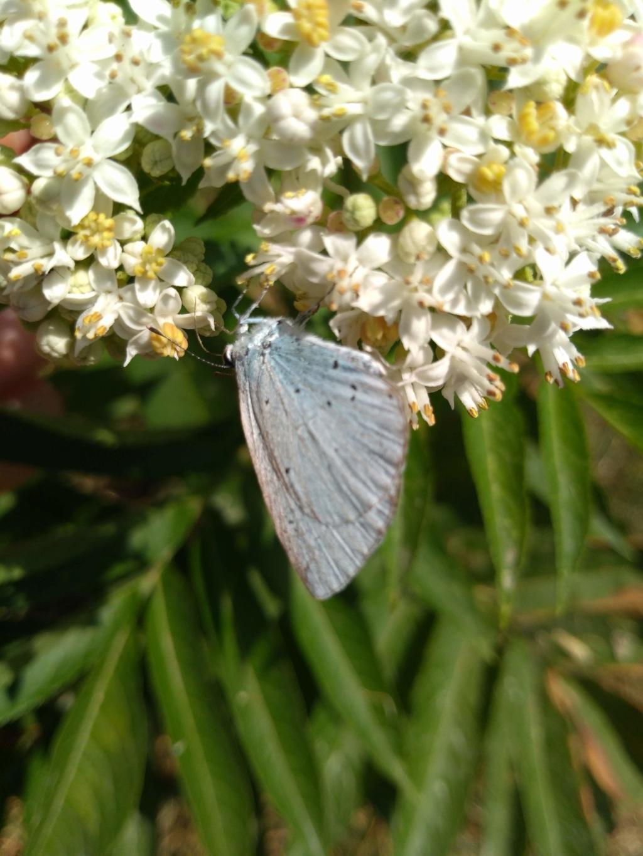 [Celastrina argiolus] azuré Img_2088