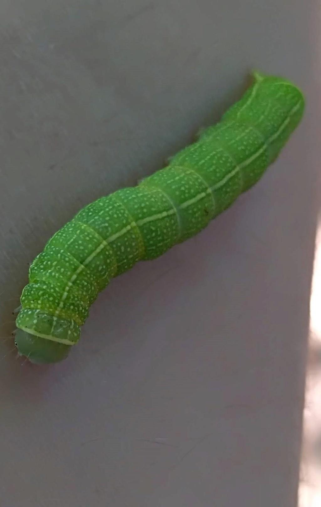 [Noctuidae, cf. Orthosia incerta] chenille verte Img_2098