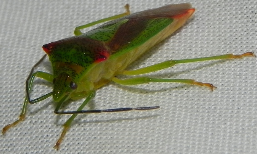 [Acanthosoma haemorrhoidale] punaise de l'aubépine Punais11